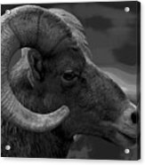 Ram Acrylic Print by Barbara Schultheis