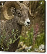 Ram Eating Fireweed Cropped Acrylic Print