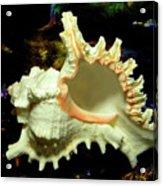Rams Horn Seashell Acrylic Print