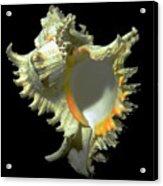 Rams Horn Seashell Murex Ramosus Acrylic Print