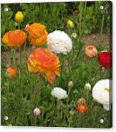 Ranunculus 5 Acrylic Print
