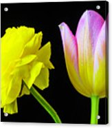 Ranunculus And Tulip Acrylic Print