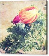 Ranunculus Stilllife Acrylic Print