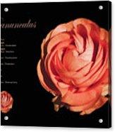 Ranunculus Acrylic Print