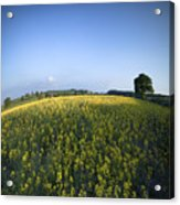 Rapeseed Blossom Acrylic Print