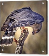 Raptor 21 Acrylic Print