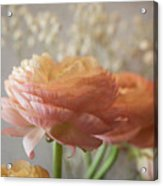 Ranunculus - 6315 Acrylic Print