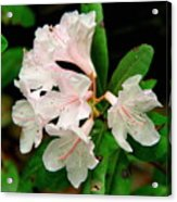 Rare Florida Beauty - Chapmans Rhododendron Acrylic Print