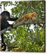 Rare Golden Monkey Acrylic Print