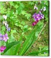 Rare Parry Primrose Spring Inlet Trampas Lake Nm Acrylic Print