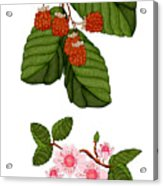Raspberries And Raspberry Blossoms Acrylic Print