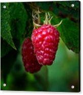 Raspberry 1 Acrylic Print