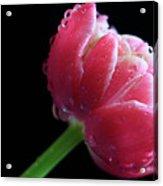 Raspberry Tulip Acrylic Print by Tracy Hall