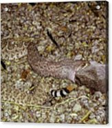 Rattlesnake Devouring Rabbit Acrylic Print