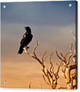 Raven On Sunlit Tree Branches, Grand Canyon Acrylic Print by Trina Dopp Photography