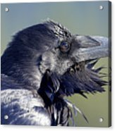 A Raven - Windblown Acrylic Print