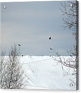 Ravens On The Prowl Acrylic Print