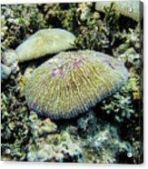 Razor Coral In Kwajalein Acrylic Print