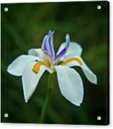 Reaching Iris Acrylic Print