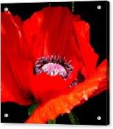 Red Poppy Photograph Acrylic Print