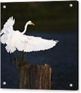 Ready To Roost Acrylic Print
