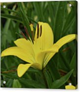 Really Beautiful Yellow Lily Growing In Nature Acrylic Print