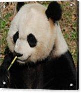 Really Cute Giant Panda Bear With Bamboo Acrylic Print