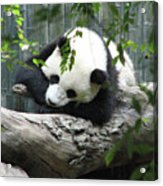 Really Cute Panda Bear Sleeping On A Log Acrylic Print