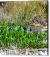 Really Dangerous Alligator Acrylic Print