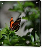Really Elegant Oak Tiger Butterfly In Nature Acrylic Print