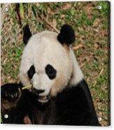 Really Great Panda Bear Chomping On A Fistful Of Bamboo Acrylic Print