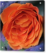 Really Orange Rose Acrylic Print
