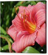 Really Pretty Blooming Pink Daylily In A Garden Acrylic Print