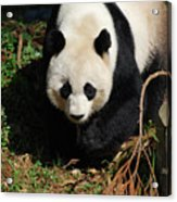 Really Sweet Giant Panda Bear Waddling Around Acrylic Print