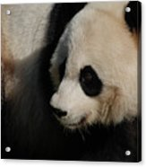 Really Up Close With The Face Of A Giant Panda Acrylic Print