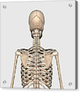 Rear View Of Human Skeletal System Acrylic Print