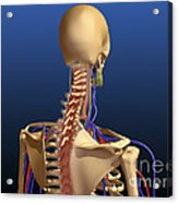 Rear View Of Human Spine And Scapula Acrylic Print