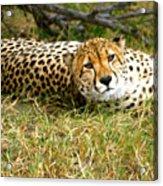 Reclining Cheetah Acrylic Print