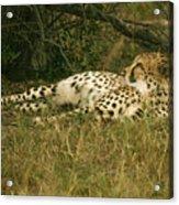 Reclining Cheetah Profile Acrylic Print