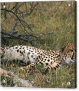 Reclining Cheetah Watching Acrylic Print