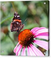 Red Admiral 1543 Acrylic Print