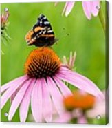 Red Admiral And Cone Flowers Acrylic Print