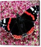 Red Admiral Butterfly Vanesa Atalanta Acrylic Print