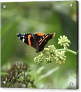 Red Admiral Acrylic Print