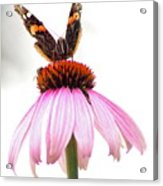 Red Admiral On Echinacea Acrylic Print