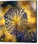 Red Allium Flower Acrylic Print