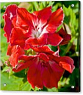 Red Amaryllis At Pilgrim Place In Claremont-california Acrylic Print