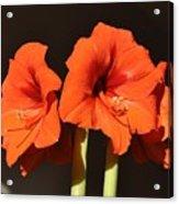 Red Amaryllis Acrylic Print