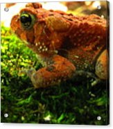 Red American Toad Acrylic Print