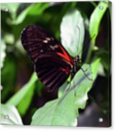 Red And Black Butterfly In The Garden Acrylic Print